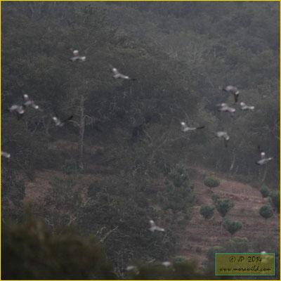 Common Wood-Pigeon - Pombo torcaz - Columba palumbus