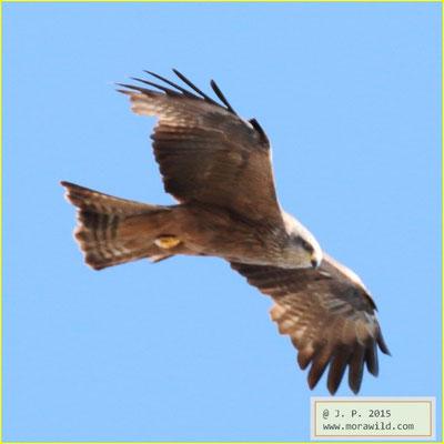 Black Kite - Milhafre preto - Milvus migrans