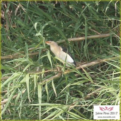 Black-crowned night heron - Goraz - Nycticorax nycticorax