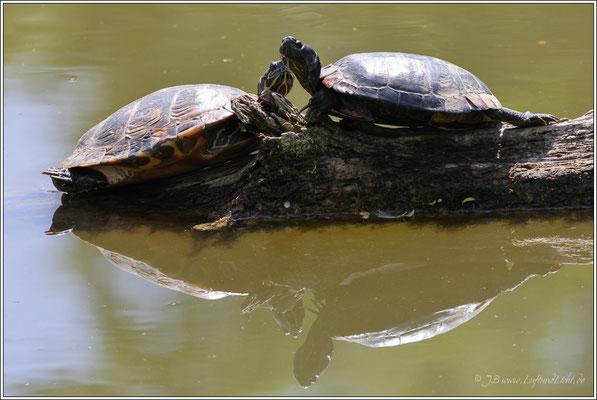 Schmuckschildkröten, Einwanderer aus Nordamerika