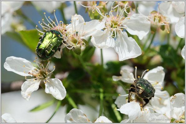 Goldglänzender Rosenkäfer oder auch Gemeiner Rosenkäfer genannt. Es wurden einige dieser Käfer durch die Blüten angezogen.