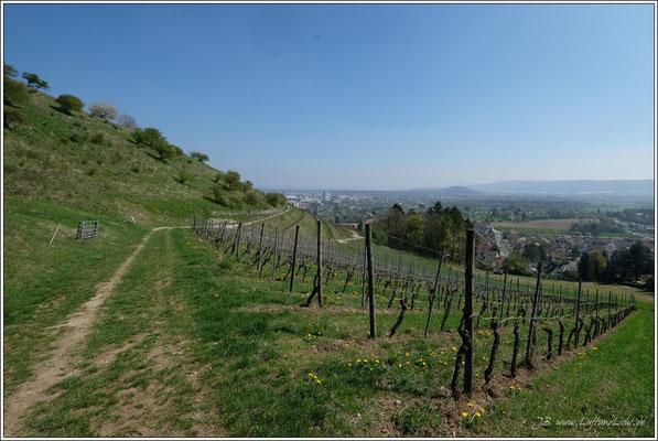 Weinbau am Hohentwiel.