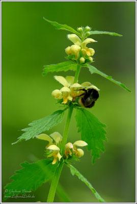Es wird gesammelt, nicht nur Pollen ...