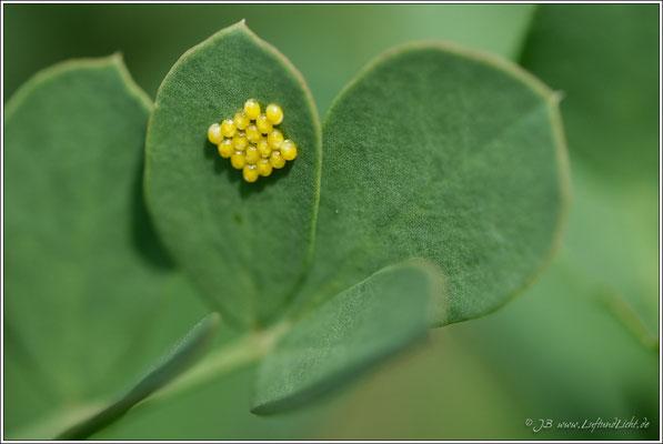 Eiablage auf den Blättern der Bergkronwicke