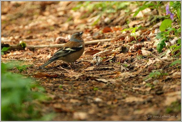 daneben sucht ein Buchfinken-Männchen nach Nahrung