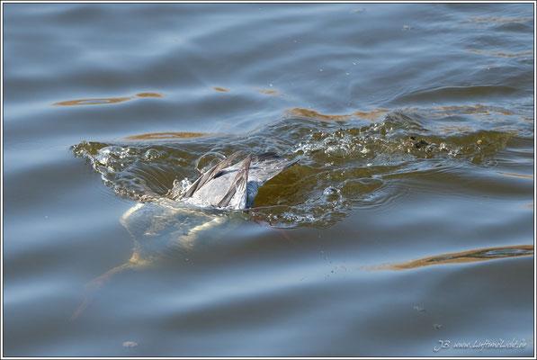 Gänsesäger auf Fischfang ...