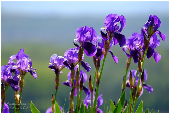 Deutsche blau blühende Schwertlilie