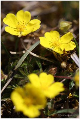 Frühlingsfingerkraut