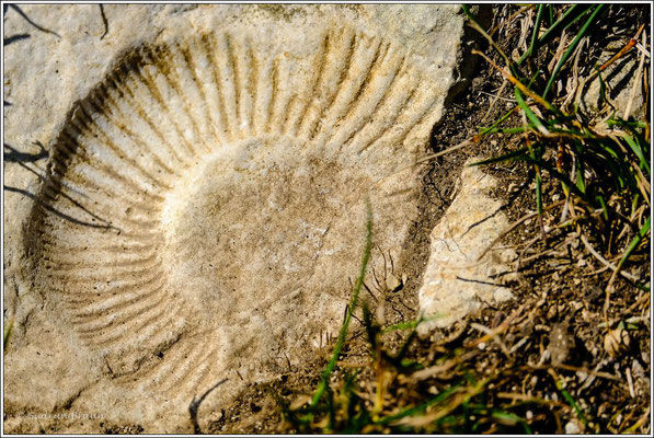 ein Alb-Fossil