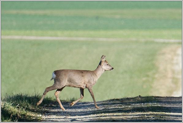 … ein nahender Spaziergänger von der anderen Seite war ihnen dann doch zu bedrohlich und sie verschwanden wieder im Wald.