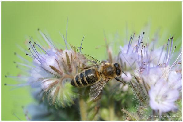 Rainfarnblättriges Büschelschön auch Bienenfreund genannt
