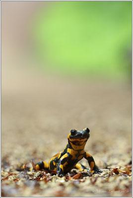 """Und wieder einmal schallt es im Walde lange noch, """"Salamander lebe hoch"""""""