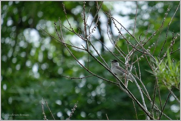 ein Frommer Sänger, die Mönchsgrasmücke