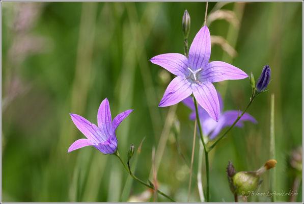 Wiesen-Glockenblume