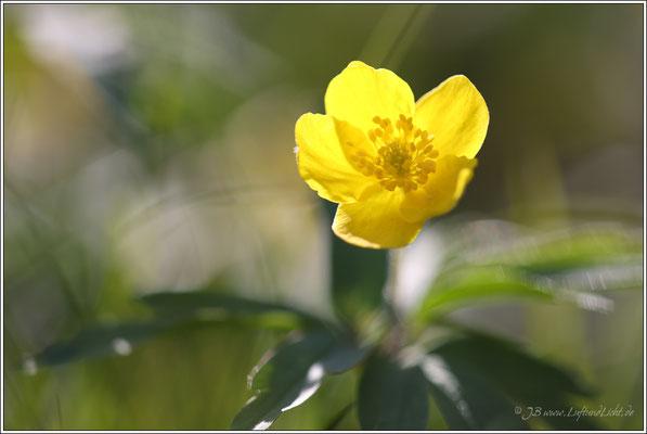 gegen Ende April blühen auch die gelben Buschwindröschen auf.