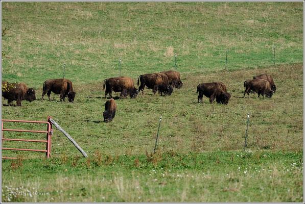 Bisongehege Bodenwald