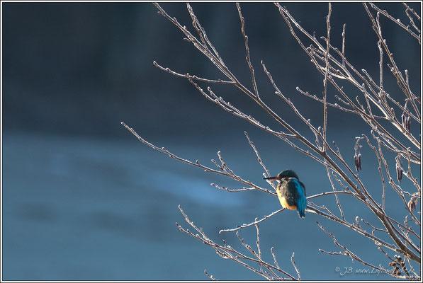 Ein Eisvogel bei eisigen Temperaturen