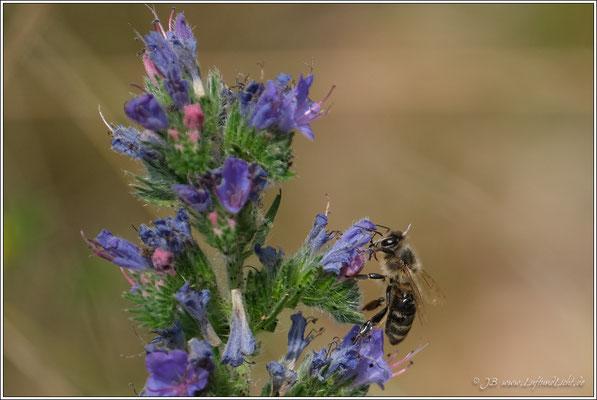 Natternkopf mit Biene zu Besuch