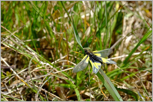 Schmetterlingshaft