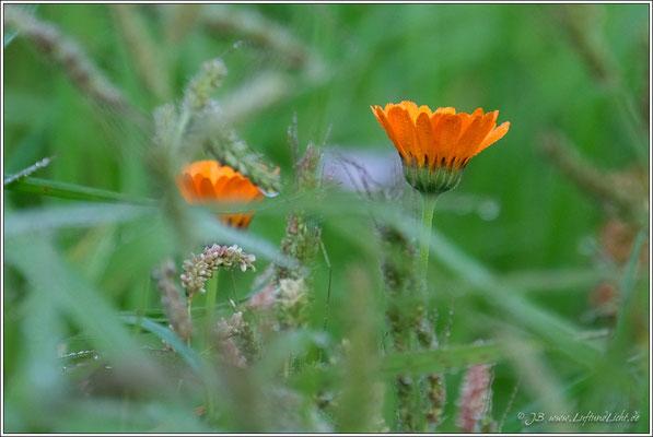 auch die Ringelblumen sind noch feucht vom Morgentau