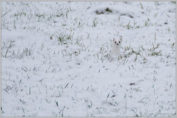 das Hermelin, gut getarnt im Winterfell