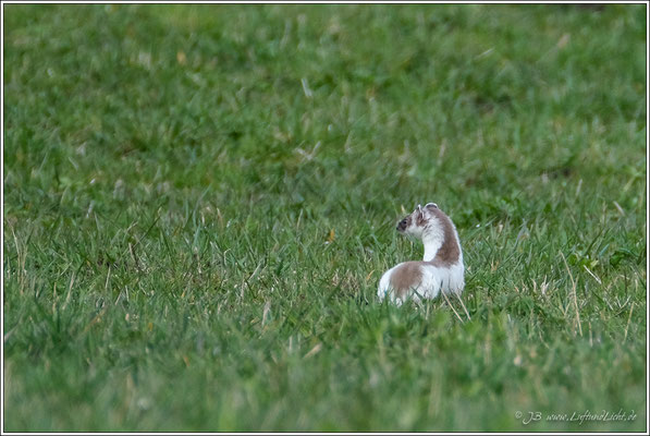 das Hermelin passt sich so langsam wieder der Jahreszeit an