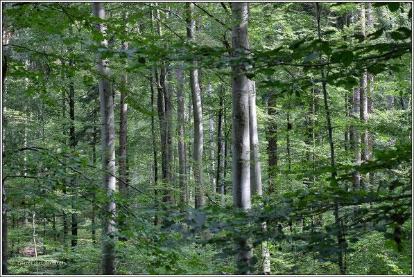 auf dem Jägerwegle durch den Buchenwald