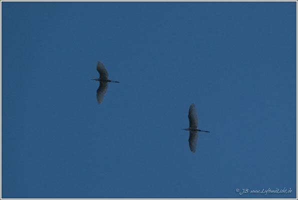 früh am Morgen zwei Silberreiher fliegen über das Tal