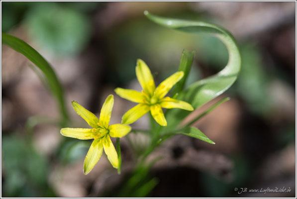 Waldgoldstern oder auch Gelbstern genannt