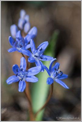 auch ein Liliengewächs, der Blaustern