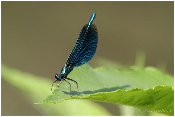 Blauflügelige-Prachtlibelle