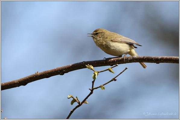 ... und singt sein Frühlingslied.