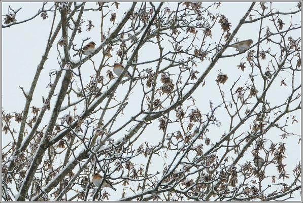 Bergfinken