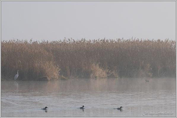 Silberreiher und Graureiher stehen am Ufer.