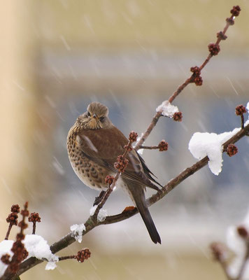 Wacholderdrossel trotzt dem Schnee