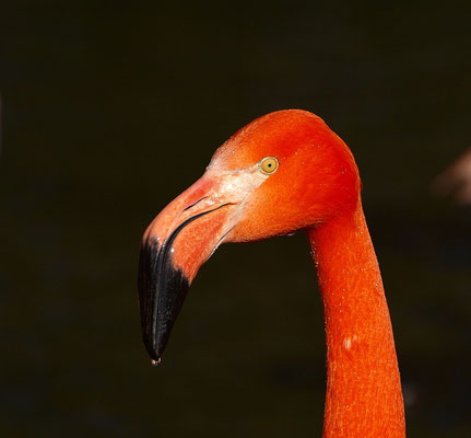 Flamingoportrait