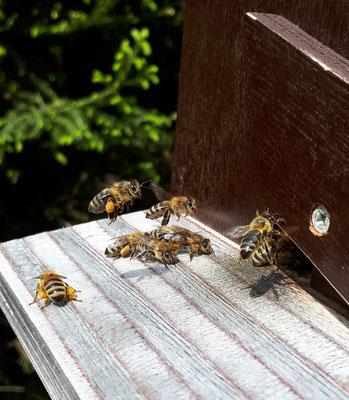 Unsere Bienen im Schaukasten