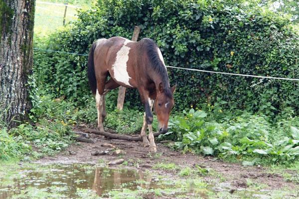 L'hiver il y a des zones en eau, c'est l'occasion pour les jeunes chevaux de découvrir la joie de patauger