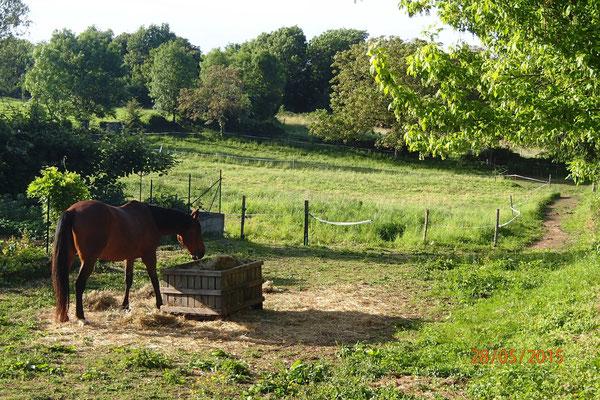 Les chevaux mangent le foin avec une belle sur le PP