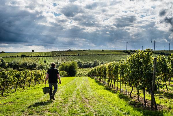 Ende der Weinlese in Rheinhessen