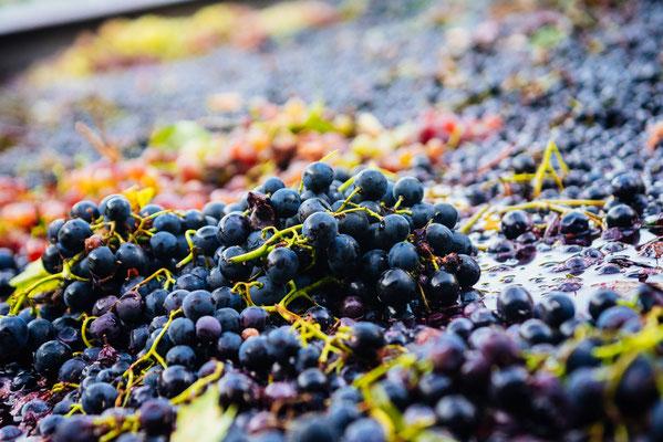 Rote Trauben bei der Weinherstellung
