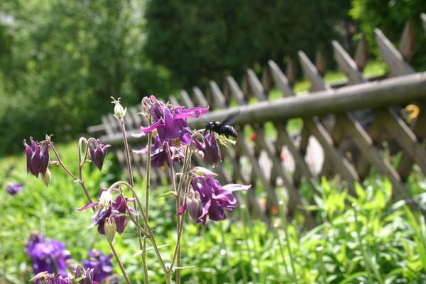 Beim Frühstück zieht die Blaue Holzbiene aus den morschen Klötzen von der Terrasse neben mir brummend ihre Bahnen und labt sich an unseren Gartenblumen (Bild2)