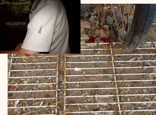 Und am Abend setzt sich vielleicht eine Ameisenjungfer Myrmeleon formicarius ein Imago des Ameisenlöwen (die Schöne und das Biest :-), auf meinen Ärmel. Auf der ungeplättelten Fläche unter den Fahrrädern haben sie reichlich Platz, ihre Fangtrichter zu gra