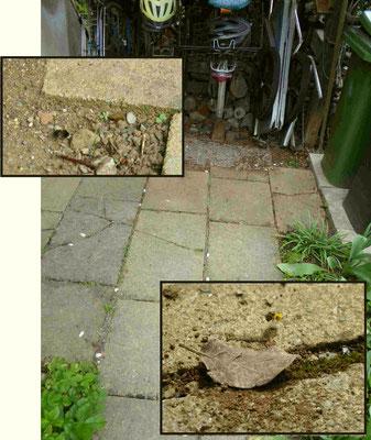 Auf dem Plattenweg an unserem Fahrradständer legt eine winzige Wildbiene ihr Bodennest in den Ritzen an. Gerade kommt sie pollenbeladen zum Nistplatz zurück. Dort und im Erdkasten unseres Wildbienenstandes graben auch die Weibchen der Antophora plumipes i