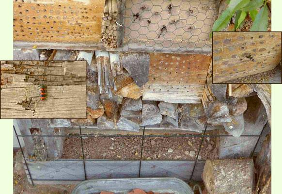 An unserem Wildbienen-Stand finden sich regelmäßig einige Exemplare des zottigen Bienenkäfers Trichodes alvearius, einer vom Aussterben bedrohten Art ein, um zu schauen, ob sie ein Wildbienen-Gelege parasitieren können. Als kleine Sensation versucht eine