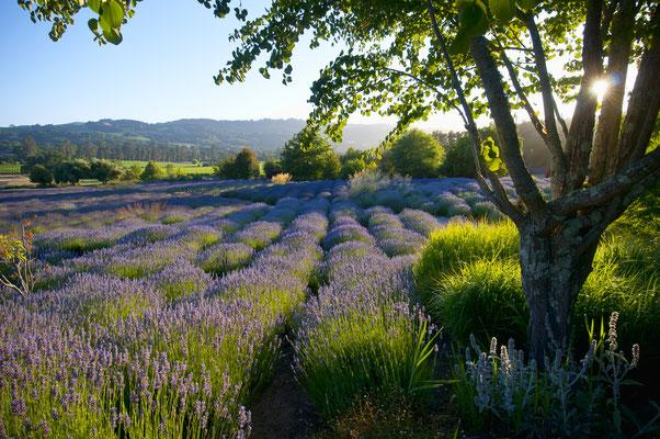 Toscana Traum aus Lavendel