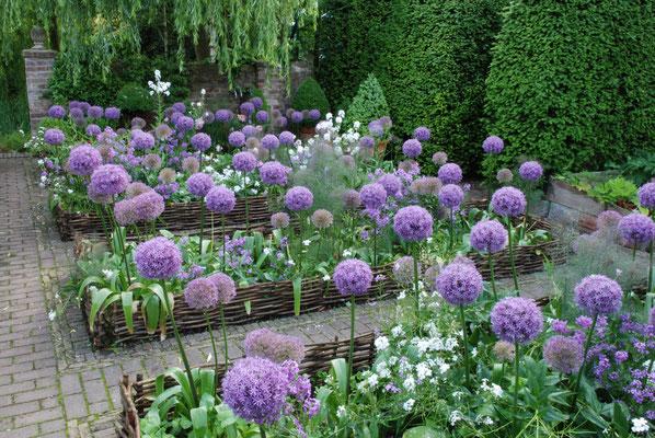 Hochbeete Beetabtrennungen Holz Haselnuss mit Allium Kugellauch als Cottage Garden Bauerngarten