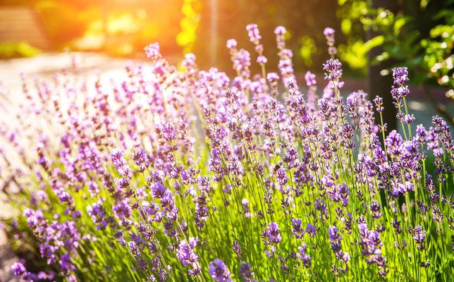 Lavendel Stauden Pflanzplanung