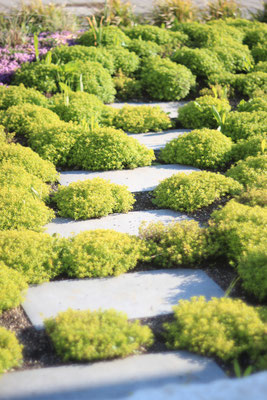 Pflanzung aus Thymian Duftrasen und Trittplatten