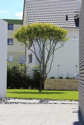 Familiengarten mit Solitärgehölz Felsenbirne, Hochbeet aus Naturstein Jurakalk Rebmauer, Rasenfläche und Trittplatten Beton in Schieferchips